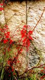 Outdoors. Tropical red exotic wildflowers grow outdoors near stone wall in street Stock Photos