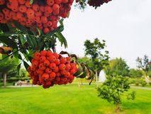 Outdor Bunches of rowan is big on a branch on the background of the park Clouse up Autumn Colors green and orange Royalty Free Stock Photography