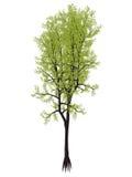 Outeniqua yellowwood tree, podocarpus falcatus - 3D render Royalty Free Stock Photos
