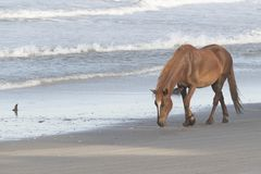 Outer Banks Wild Horses on the Beach. Wild Horses on the Northern End of the Outer Banks on the Beach at Corolla North Carolina stock photography