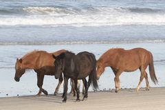 Free Outer Banks Wild Horses On The Beach Royalty Free Stock Image - 147389256