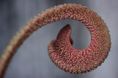 Outgrowth of the flower pink color in the form of a curl closeup Stock Image