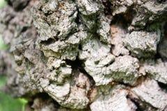 Outgrowth on the tree. Bark Stock Photos