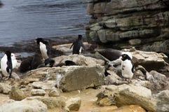 outhern пингвины Rockhopper на clifftop с океаном в предпосылке стоковая фотография