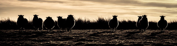 Outlaw Sheep Gang. A line of sheep backlit and silhouetted against grasses and the sky at sunset. The profile of the ears and head of the sheep are reminicsent Stock Image