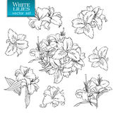 Outline drawings of white lilies Royalty Free Stock Photography