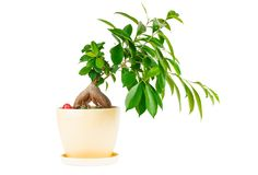 Outline ficus. Room flower in ceramic flowerpot Royalty Free Stock Images