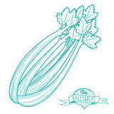 Outline hand drawn sketch of celery (flat style, thin  line) Stock Photography