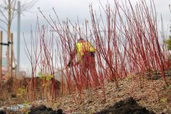 Landscaper and Red Dogwood Bush. The outline of a landscaper can be seen through the freshly planted stems of Red Dogwood bushes royalty free stock images