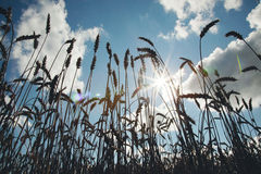 Outline of spikelets in sunlight Royalty Free Stock Photo