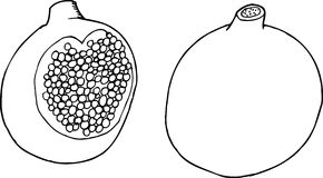 Outlined Pomegranate Stock Photo