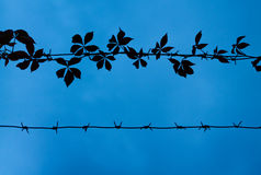 Outlines of barbed wire with ivy. Against the blue sky Stock Image