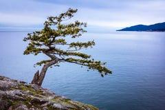 Outlook dell'albero del ginepro Fotografia Stock Libera da Diritti