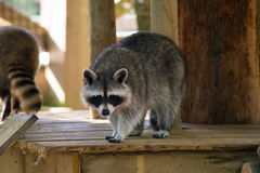 Outlook racoon. A young racoon waiting for his food royalty free stock image