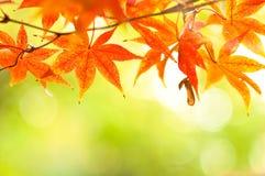Outonal nas folhas mable de japão Foto de Stock Royalty Free