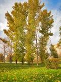outono Álamos tremedores altos na franja frondosa dourada Imagem de Stock Royalty Free