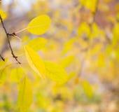 Outono amarelo as últimas folhas amarelas de uma árvore de cereja imagens de stock royalty free