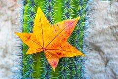 outono amarelo e vermelho vibrante folha colorida que pendura em pontos de um cacto imagem de stock