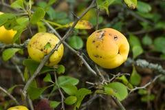 outono amarelo maduro do marmelo japonês do fruto Fotografia de Stock
