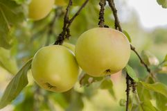 outono Apple em uma árvore Imagens de Stock
