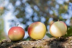 outono Apple em uma árvore Imagem de Stock Royalty Free