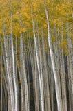Outono Aspen perto de Vail Imagem de Stock