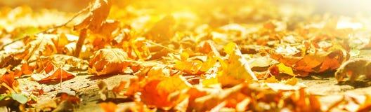 outono bandeira O fundo das folhas de outono em um parque na terra, amarelo sae no parque do outono Folhas da queda da floresta d imagem de stock royalty free