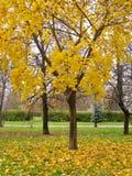 outono Bordo amarelo no parque do outono Imagens de Stock