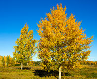 outono brilhante vidoeiro colorido Imagens de Stock