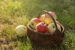 outono Cesta das maçãs na grama Fotografia de Stock