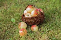 outono Cesta das maçãs na grama Imagem de Stock