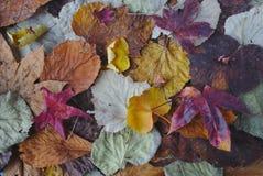 outono colorido da textura das folhas de outono fotos de stock royalty free