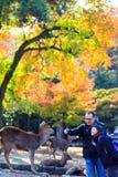 outono com cor bonita do bordo em Nara Park, Japão Foto de Stock