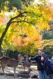 outono com cor bonita do bordo em Nara Park, Japão Imagens de Stock