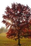 outono da árvore de bordo vermelho Imagens de Stock Royalty Free
