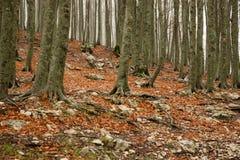 outono da faia Foto de Stock Royalty Free