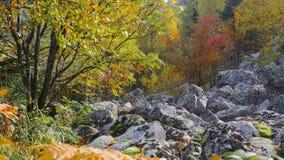 outono do ouro na floresta 4K da inclinação de montanha filme