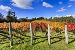outono do vinhedo Imagem de Stock Royalty Free