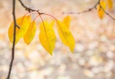 Outono dourado as últimas folhas amarelas de uma árvore de cereja foto de stock
