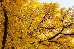outono dourado bonito Fotografia de Stock