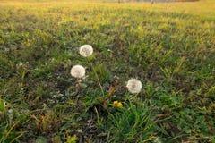 outono dourado bonito Dente-de-leão no campo Imagem de Stock