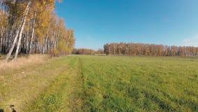 outono dourado em um bosque do vidoeiro em um dia claro vídeos de arquivo