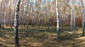 outono dourado em um bosque do vidoeiro em um dia claro filme