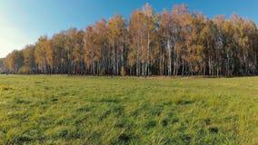 outono dourado em um bosque do vidoeiro em um dia claro video estoque