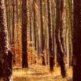 outono dourado fantástico nas plantas alaranjadas brilhantes da floresta do pinho foto de stock royalty free