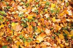 outono dourado, folhas vermelhas Queda, natureza sazonal, folha bonita Imagem de Stock Royalty Free
