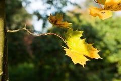 outono dourado, folhas vermelhas Queda, natureza sazonal, folha bonita Fotos de Stock Royalty Free