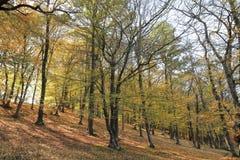 outono dourado na floresta do carvalho, montanha de Balcãs, Bulgária Foto de Stock Royalty Free