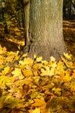 Outono dourado O amarelo sae no pé da árvore Imagens de Stock Royalty Free
