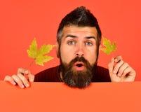 outono e conceito do tempo frio O homem guarda as folhas verdes da árvore de bordo no fundo alaranjado, espaço da cópia outubro e foto de stock